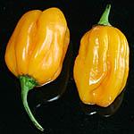 Habanero Golden